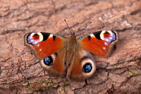 eyespot: European Peacock butterfly sitting on tree bark