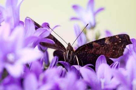 peacock butterfly: Mariposa Pavo real europeo sentado en violetas Bellflowers