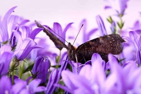 Europen Peacock butterfly sitting on violet Bellflowers photo
