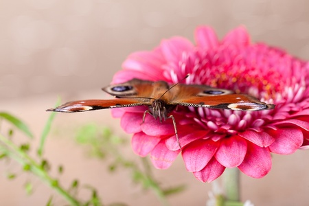 European Peacock butterfly sitting on pink Gerbera flower photo