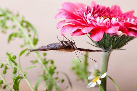 eyespot: European Peacock butterfly sitting on pink Gerbera flower