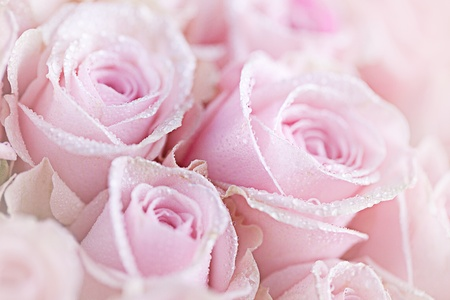 dewdrops: Close-Up of pastel colored pink Roses with Dewdrops Stock Photo