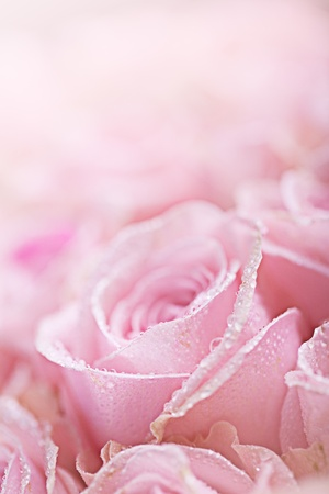 pink roses: Close-Up of pastel colored pink Roses with Dewdrops Stock Photo