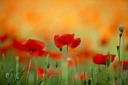 wild botany: Field of Corn Poppy Flowers Papaver rhoeas in Spring