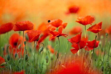Field of Corn Poppy Flowers Papaver rhoeas in Spring Stock Photo - 9809564