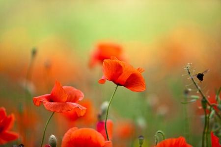 poppies: Field of Corn Poppy Flowers Papaver rhoeas in Spring