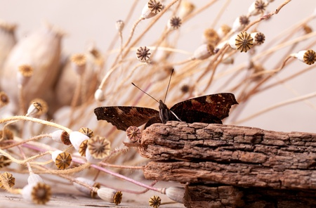 Peacock Butterfly sitting on piece of wood with dried poppy pods Stock Photo - 9811691