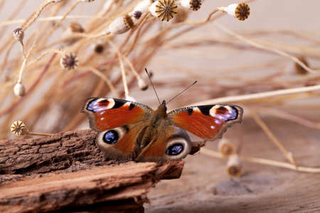 Peacock Butterfly sitting on piece of wood with dried poppy pods Stock Photo - 9811694