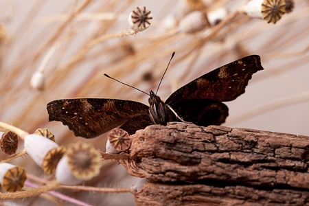 Peacock Butterfly sitting on piece of wood with dried poppy pods photo