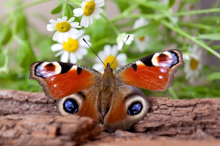 Peacock Butterfly sitting on piece of wood with daisy flowers photo