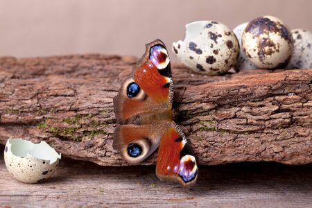 Peacock Butterfly sitting on piece of wood with broken egg shells Stock Photo - 9811783