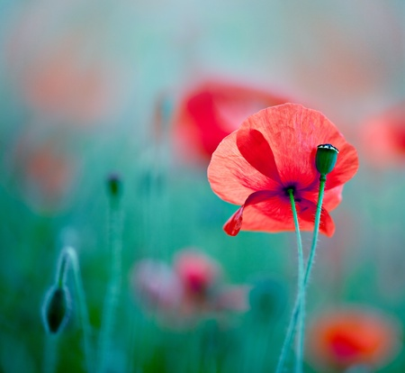 papaver: Field of Corn Poppy Flowers Papaver rhoeas in Spring