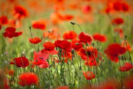 amapola: Campo de ma�z Poppy flores Papaver rhoeas en primavera
