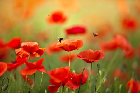 Feld von Corn Poppy Flowers Papaver-rhoeas im Frühjahr