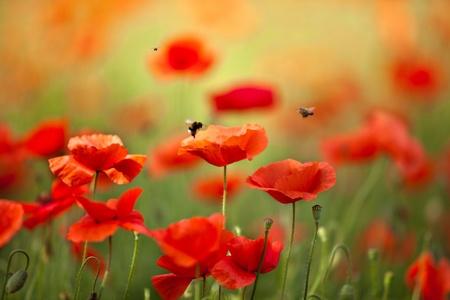 Campo de maíz Poppy flores Papaver rhoeas en primavera