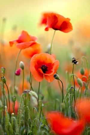 tranquil: Field of Corn Poppy Flowers Papaver rhoeas in Spring
