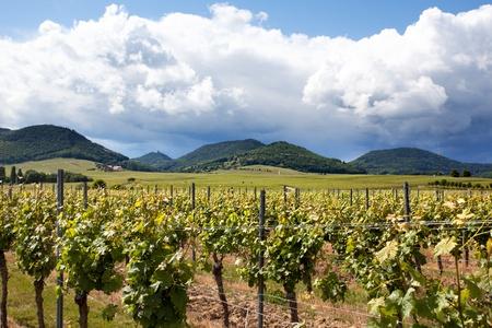 春南西ドイツのラインラント = プファルツ州のブドウ園 写真素材 - 9811785