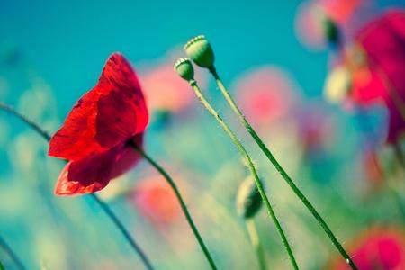 campo de flores: Campo de flores de adormidera de maíz rojo a principios de verano
