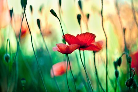 Field of red corn poppy flowers in early summer Stock Photo - 9809686