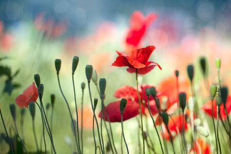 Field of red corn poppy flowers in early summer photo