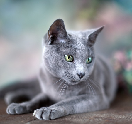 Portrait of a purebred Russian Blue Cat with flowers photo