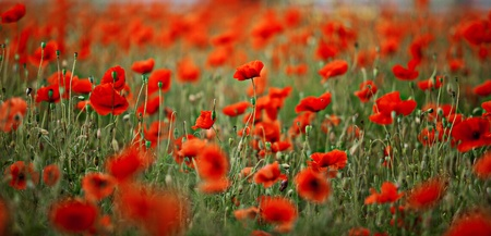 field of flowers: Field of red corn poppy flowers in early summer