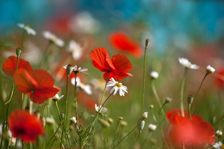 Field of red corn poppy flowers in early summer Stock Photo - 10508328