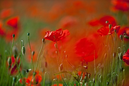 Field of red corn poppy flowers in early summer photo