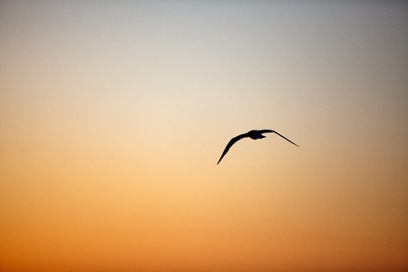 夕暮れの夕方の空を飛んでいる単一のカモメ