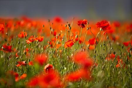 Champ de fleurs rouges de pavot de maïs en début d'été