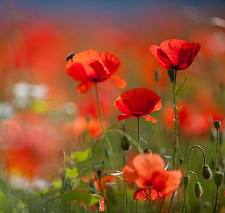 field of corn poppy flowers: Field of red corn poppy flowers in early summer