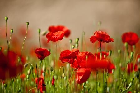 poppy flowers: Field of red corn poppy flowers in early summer
