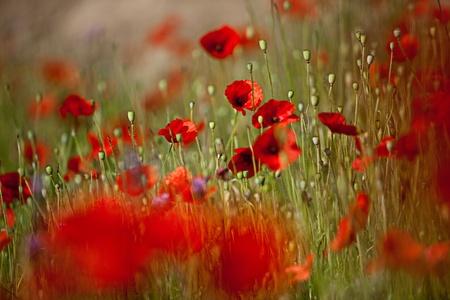 初夏に赤いヒナゲシの花のフィールド