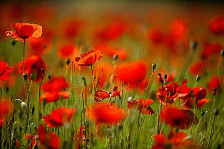 fineart: Field of red corn poppy flowers in early summer