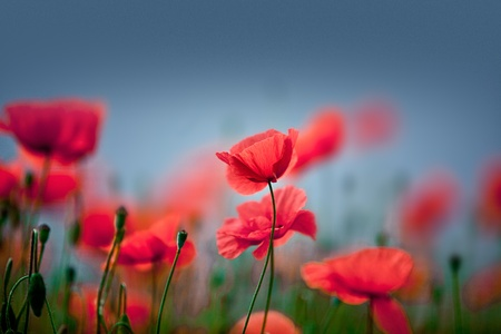 初夏に赤いトウモロコシのケシの花のフィールド