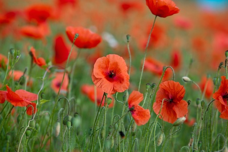 poppies: Field of red corn poppy flowers in early summer