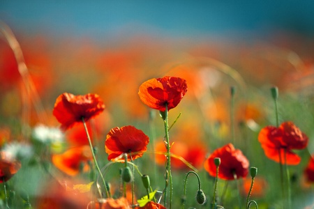 red poppies on green field: Field of red corn poppy flowers in early summer