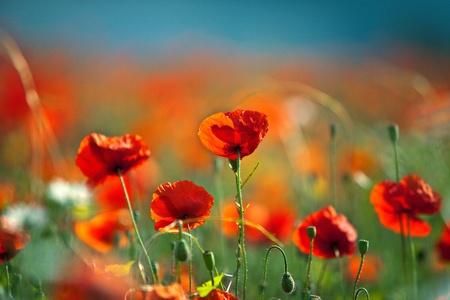 Field of red corn poppy flowers in early summer