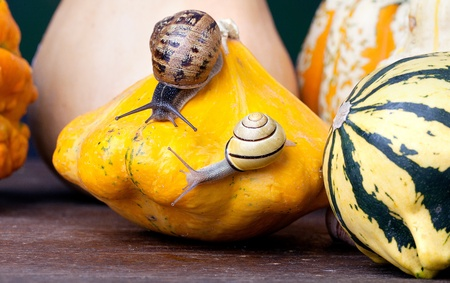 cucurbit: Autumn Image with European Grapevine Snail and Pumpkins Stock Photo