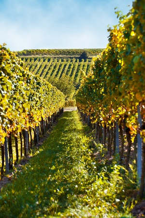 Vineyard with fully ripe grapes in autumn photo