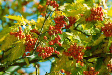 european rowan: European Rowan Sorbus aucuparia with orange berries in autumn