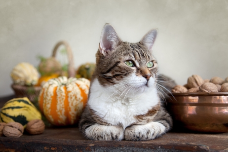 beautiful thanksgiving: Autumn themed Cat portrait with Pumpkins and Walnuts