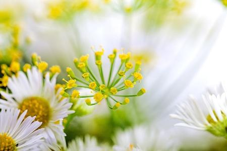 秋にディルの花の繖形花序のクローズ アップ 写真素材