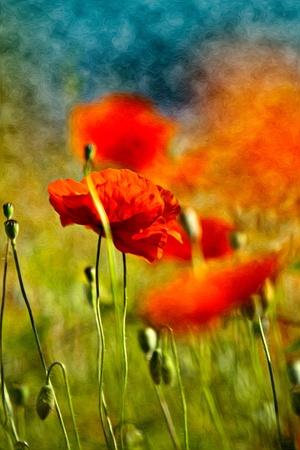 油絵風の赤いケシの花のイラスト 写真素材 - 10903173