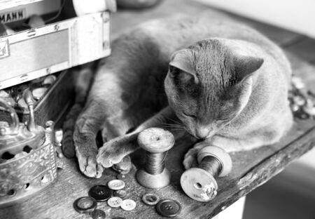 drowse: Russian Blue Cat relaxing on table with sewing tools