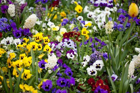 Field of colorful Pansy Flowers in Spring photo