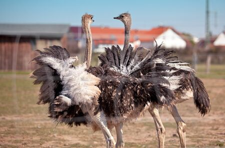Ostriches on German bird farm in Autumn  photo
