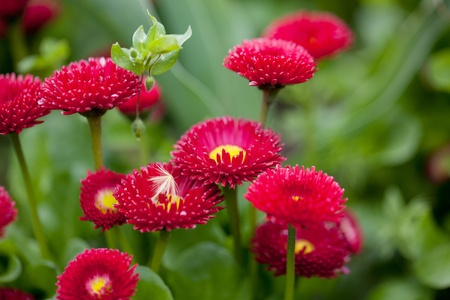 春の明るい紫のデイジーの花のグループ