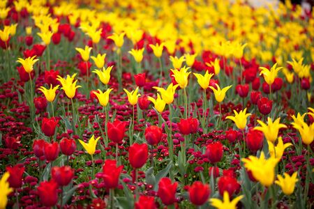 tulipa: Bright colorful red and yellow Tulip blossoms in spring
