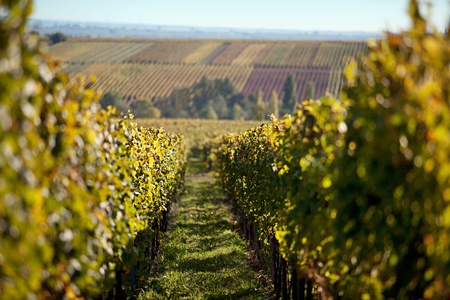 Vineyards and the Haardt Forest in late autumn photo